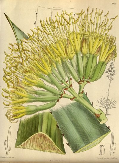 An illustration of Henequén (Agave Fourcroydes) published in 1918. Source: Curtis's Botanical Magazine, London., vol. 144 [= ser. 4, vol. 14]: Tab. 8746 – [1].